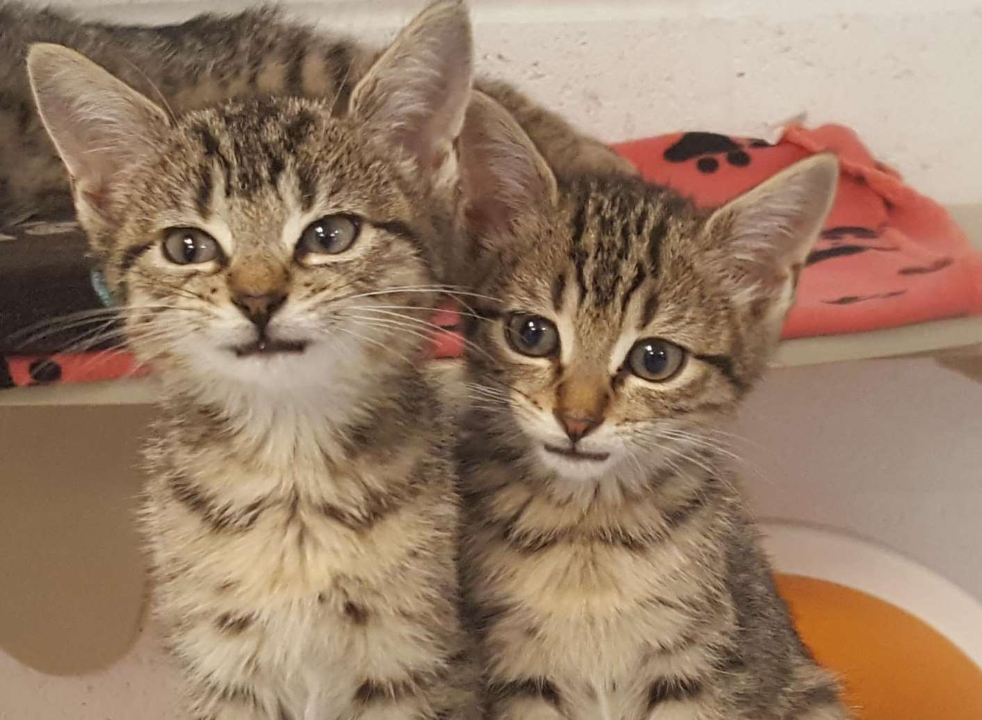 These adorable kittens, and many other cats, are looking for new owners