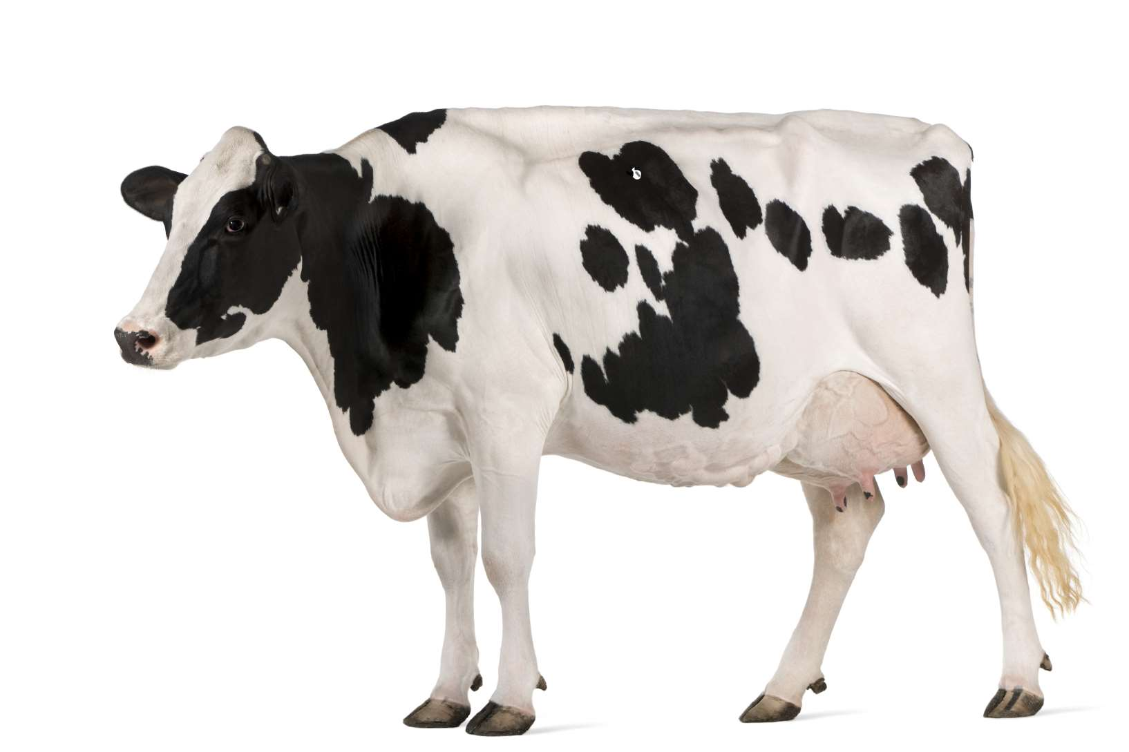 A cow similar to the one killed in the crash at Aycliffe