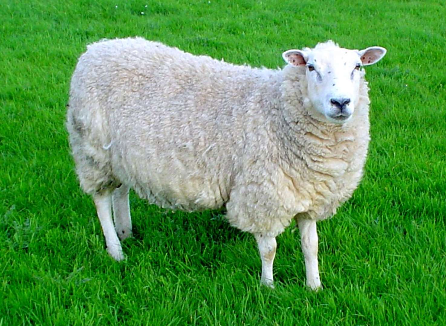 Horror as rotting sheep and lambs discovered in field