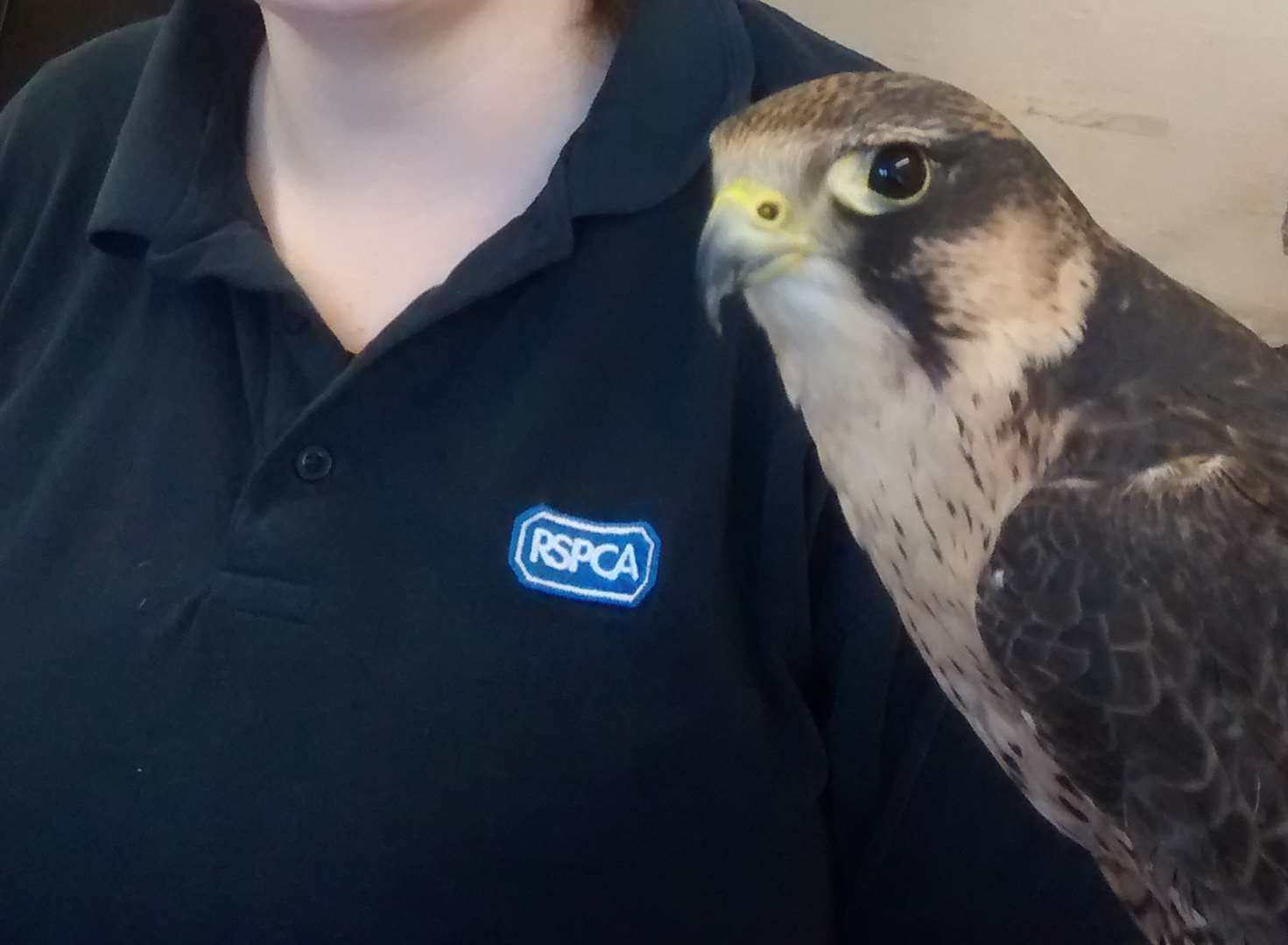 Falcon returned after being cut free by trespasser