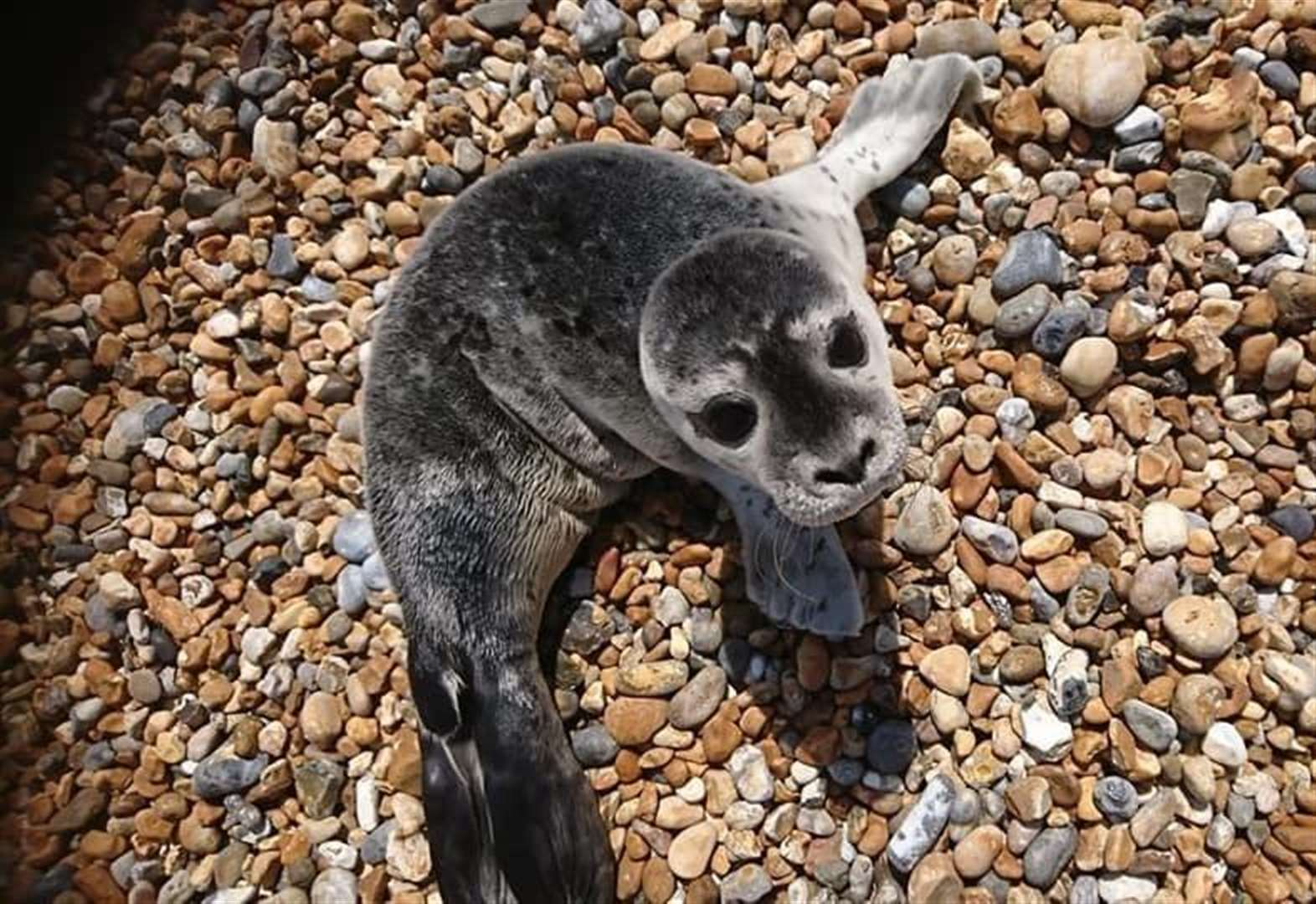 Young seal pup found dehydrated in heat