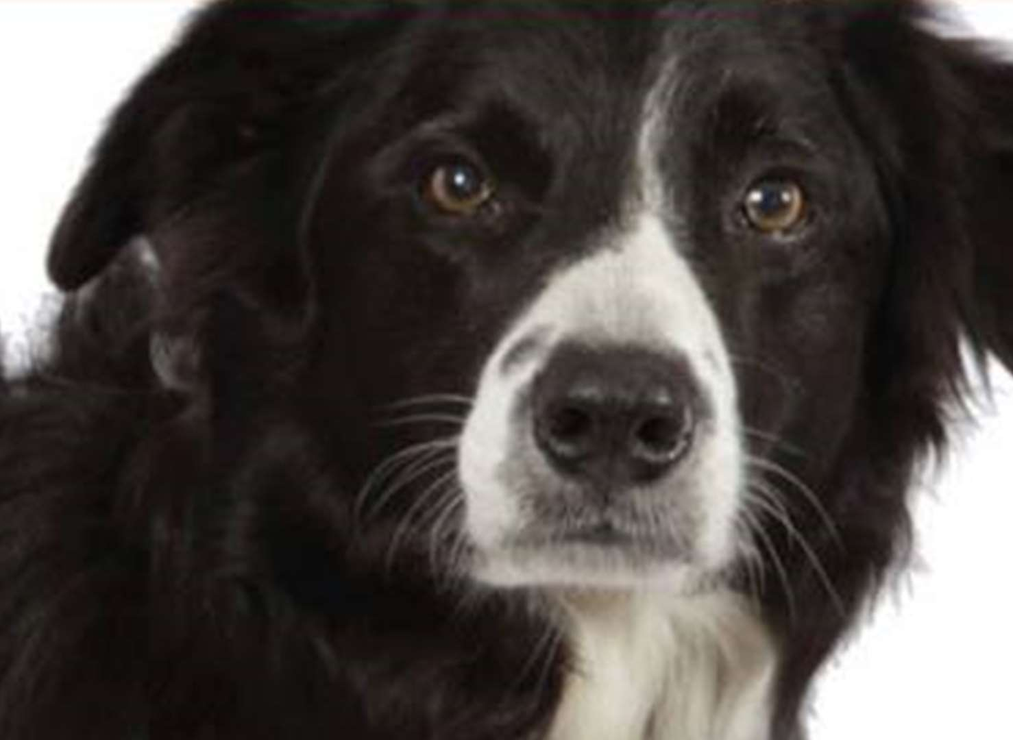 Search dog Bryn dies