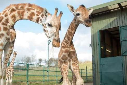 The baby with mum Luhana was born at Port Lympne last week. Picture courtesy of Port Lympne Reserve
