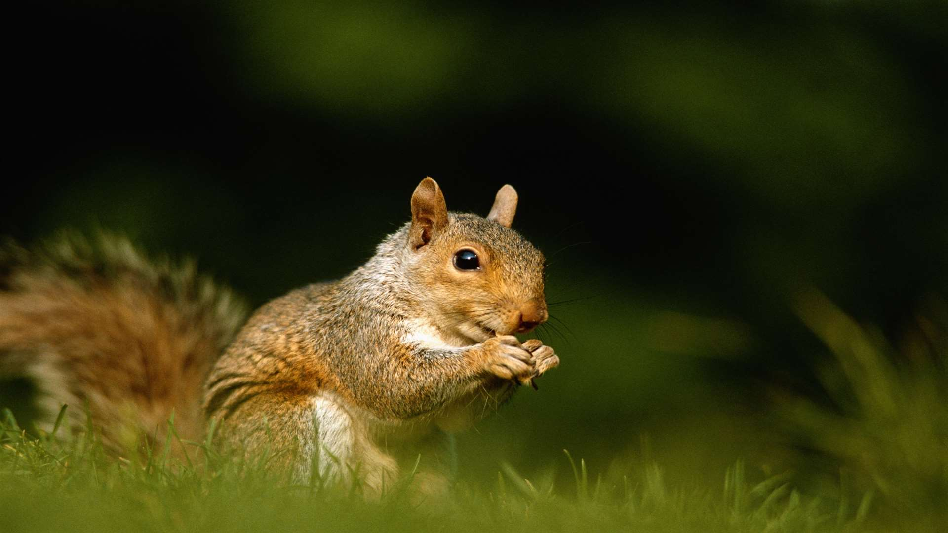 A squirrel. Stock image