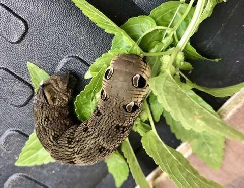 Elephant Hawk Moth Snake