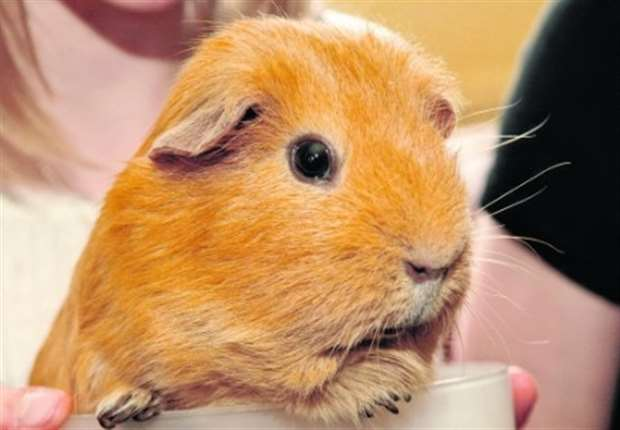 Guinea pig dating kent