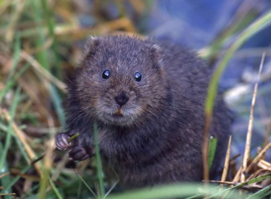The endangered water vole