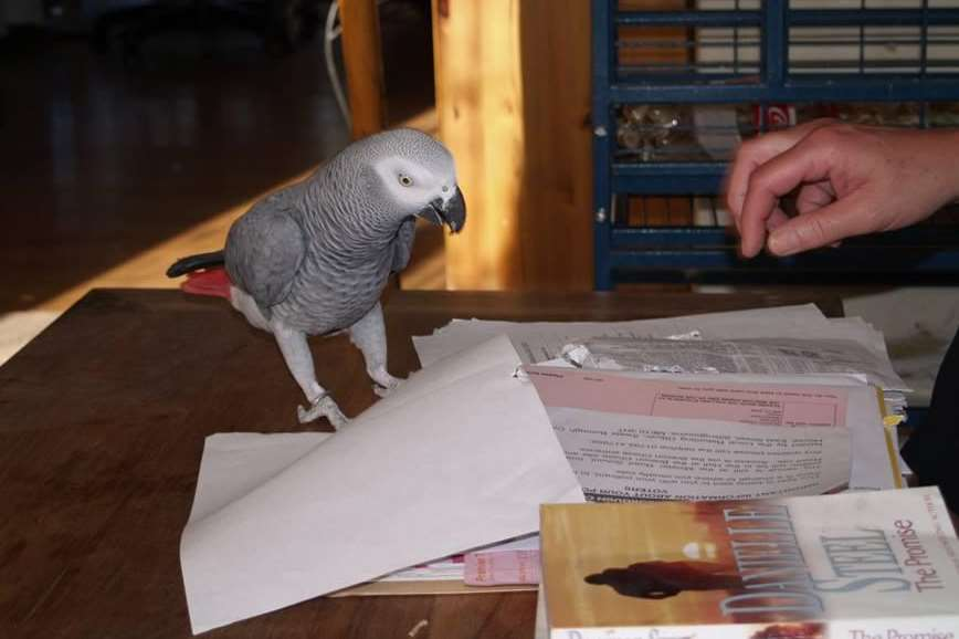 African grey parrot Blue was a much-loved family member