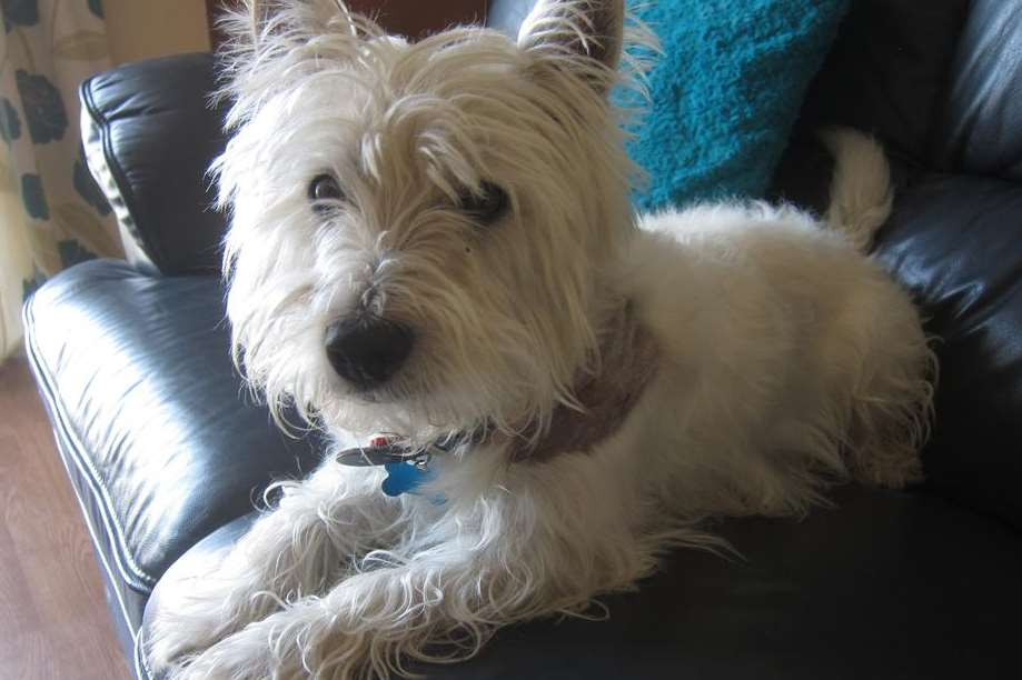 West Highland terrier Hamish was caught in the jaws of a labrador