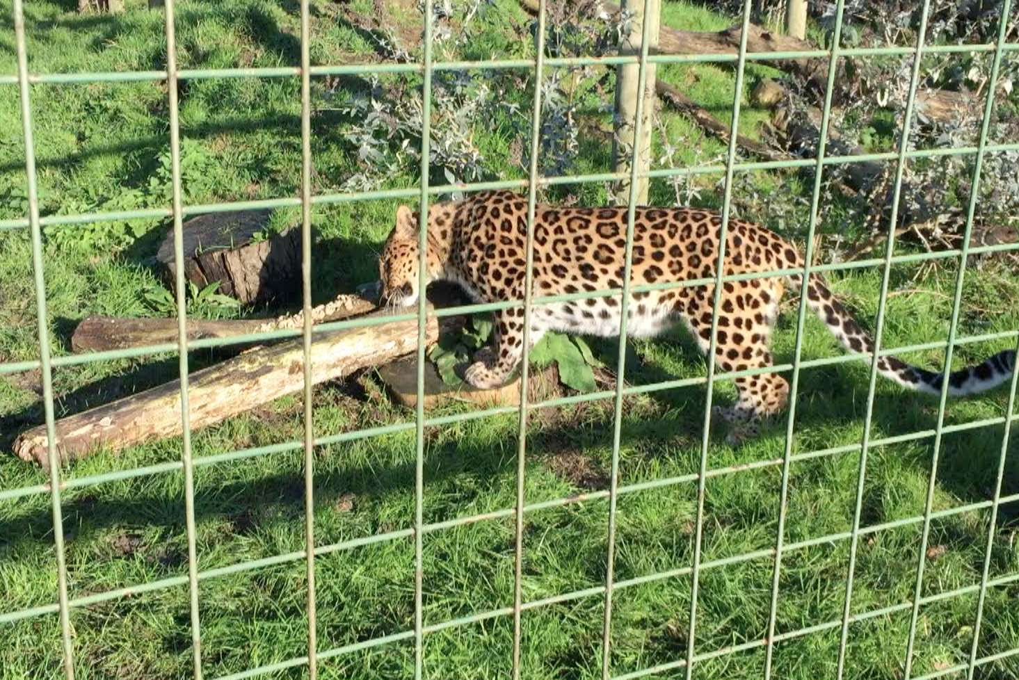 Artur the Amur Leopard having a sniff of Intimately Beckham