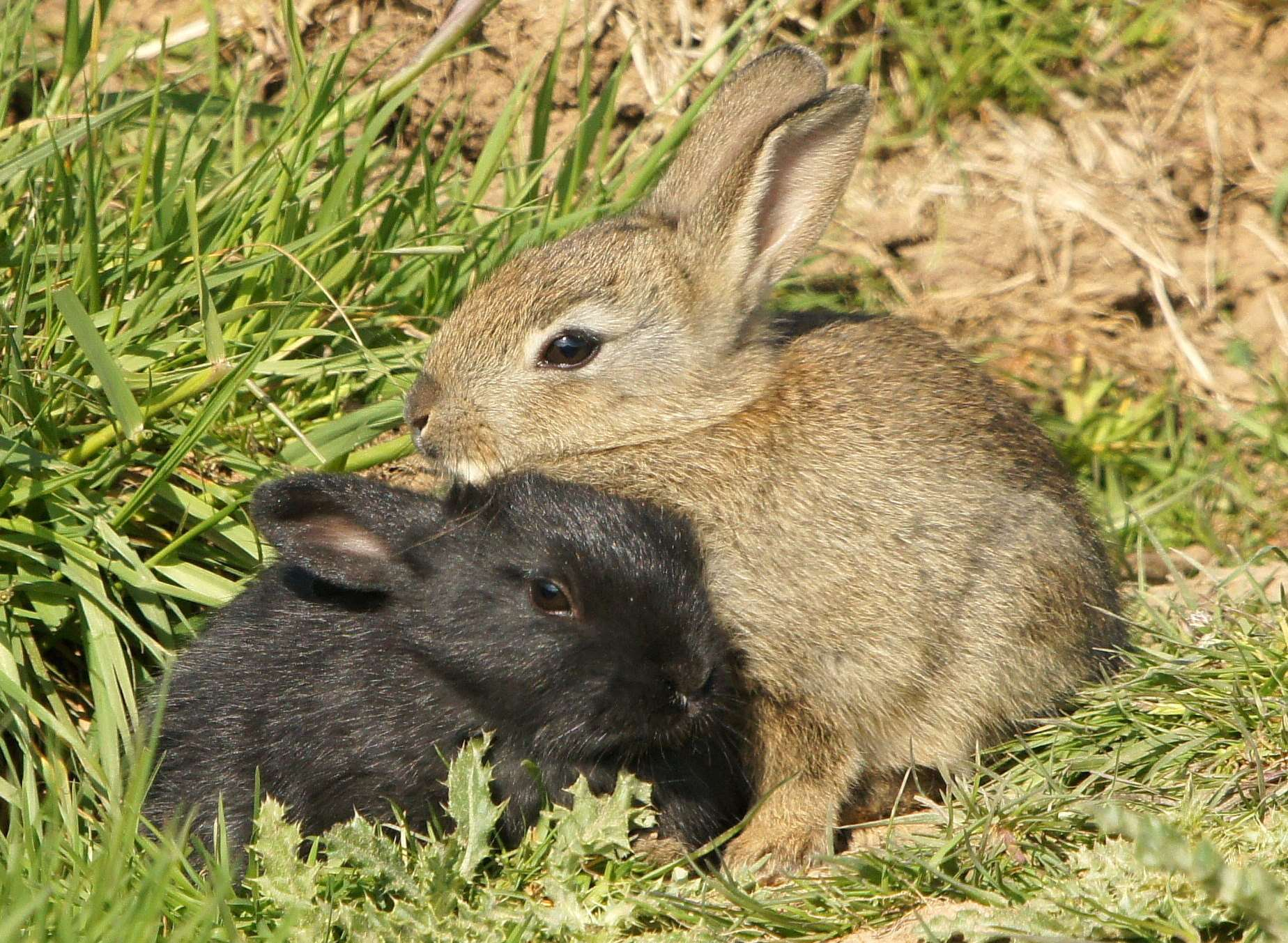 Three wild rabbits were found shot by the side of a road. Stock pic