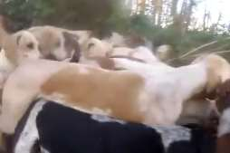 The Hunt Saboteurs Association says this is an image of the hounds ripping a fox apart