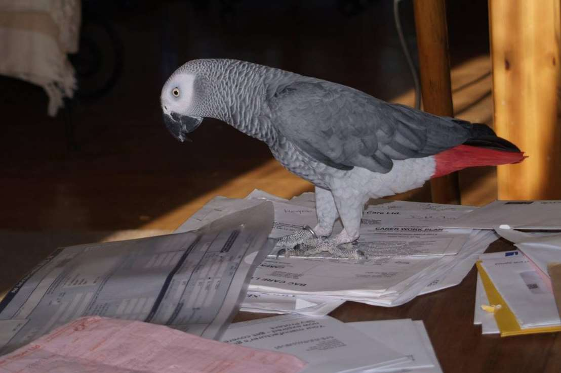 Blue the African grey parrot had gone missing from his Minster home