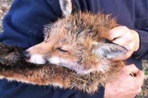 Hunt saboteurs say this is the dead fox they were unable to save