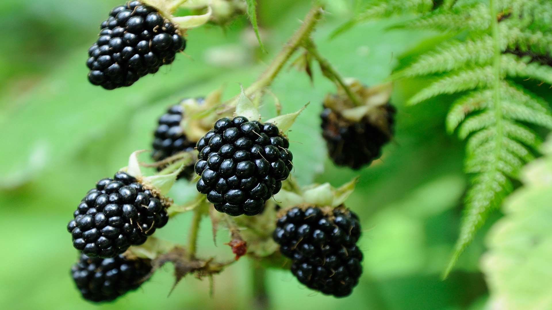 Head out into the hedgerows for some blackberries