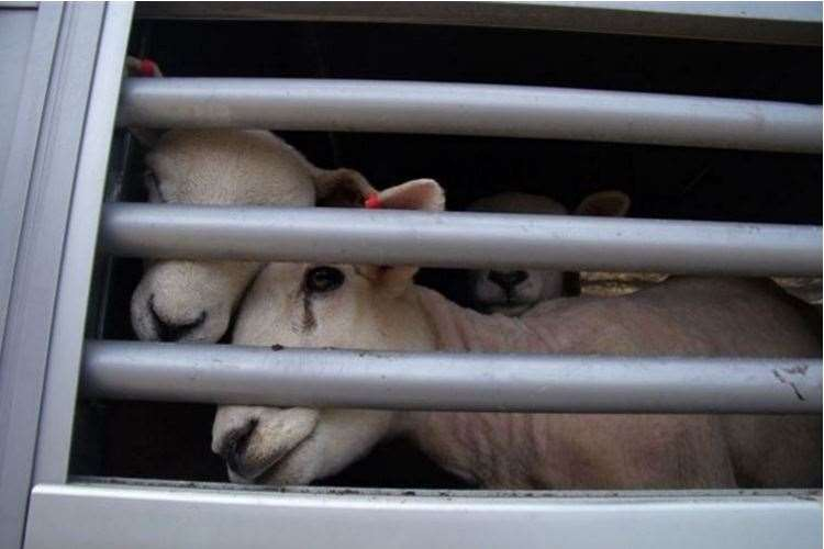 Sheep in a transporter travelling through Ramsgate Port. Picture: Mike Pett