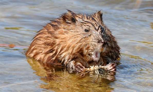 Muskrat - Courtesy Flickr
