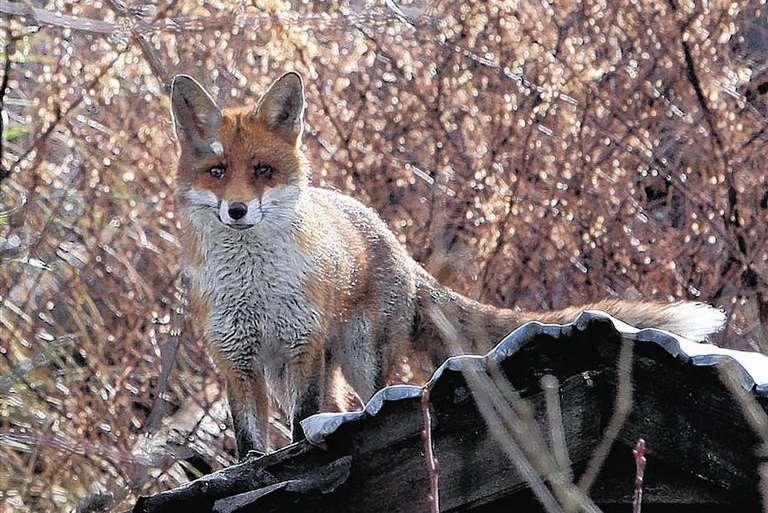 Library picture: Fox