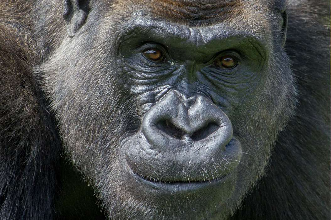 Four gorilla brothers are going to the wild in Congo from Port Lympne