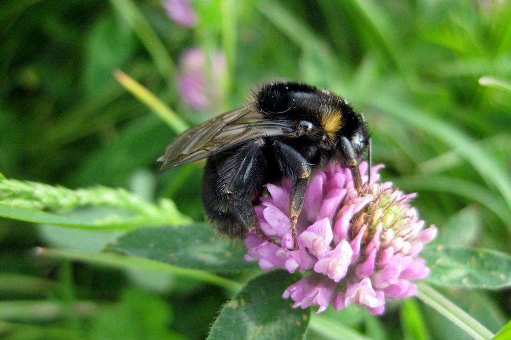 The short-haired bumblebee, back on Romney Marsh after extinction in the UK. Picture by Nik Shelton.