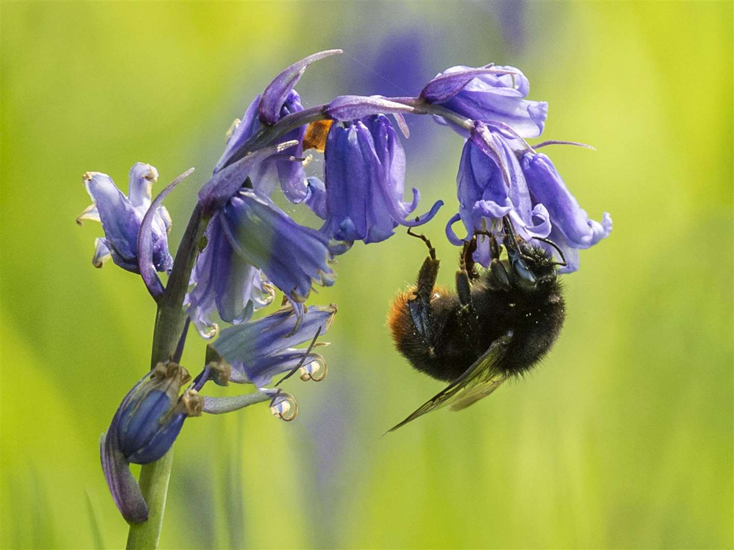 A bumblebee clings to a bluebell