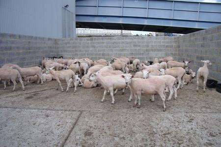 Sheep from a lorry deemed unfit to travel at the Port of Ramsgate. Picture: Mike Pett