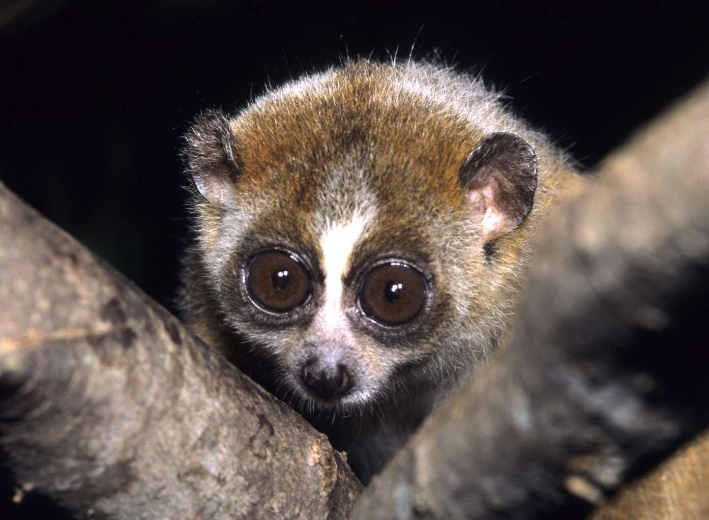 The pygmy slow loris looks cute but can deliver a deadly bite. Picture: David Haring/Duke Lemur Center, North Carolina/Wikimedia Commons