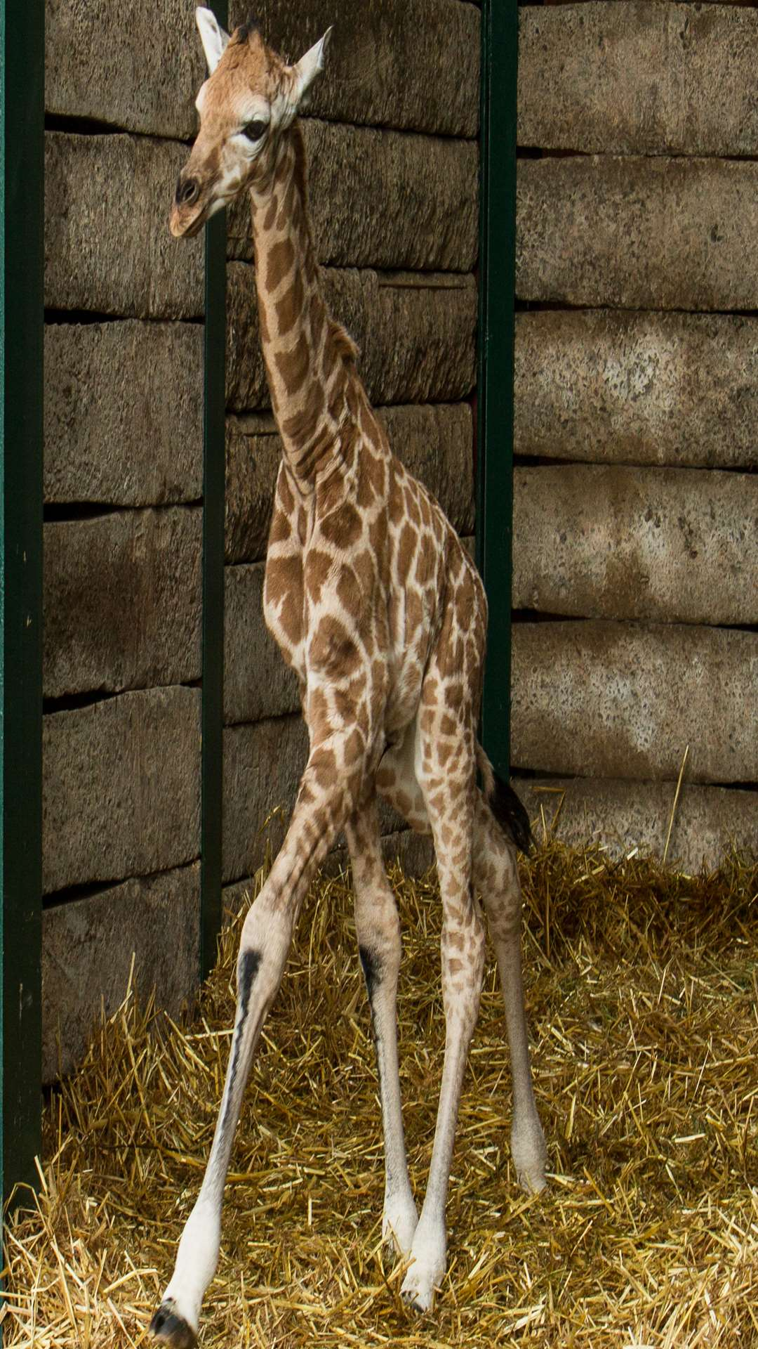The baby male giraffe is the second to be born at the reserve near Hythe this year. Picture: Port Lympne Reserve
