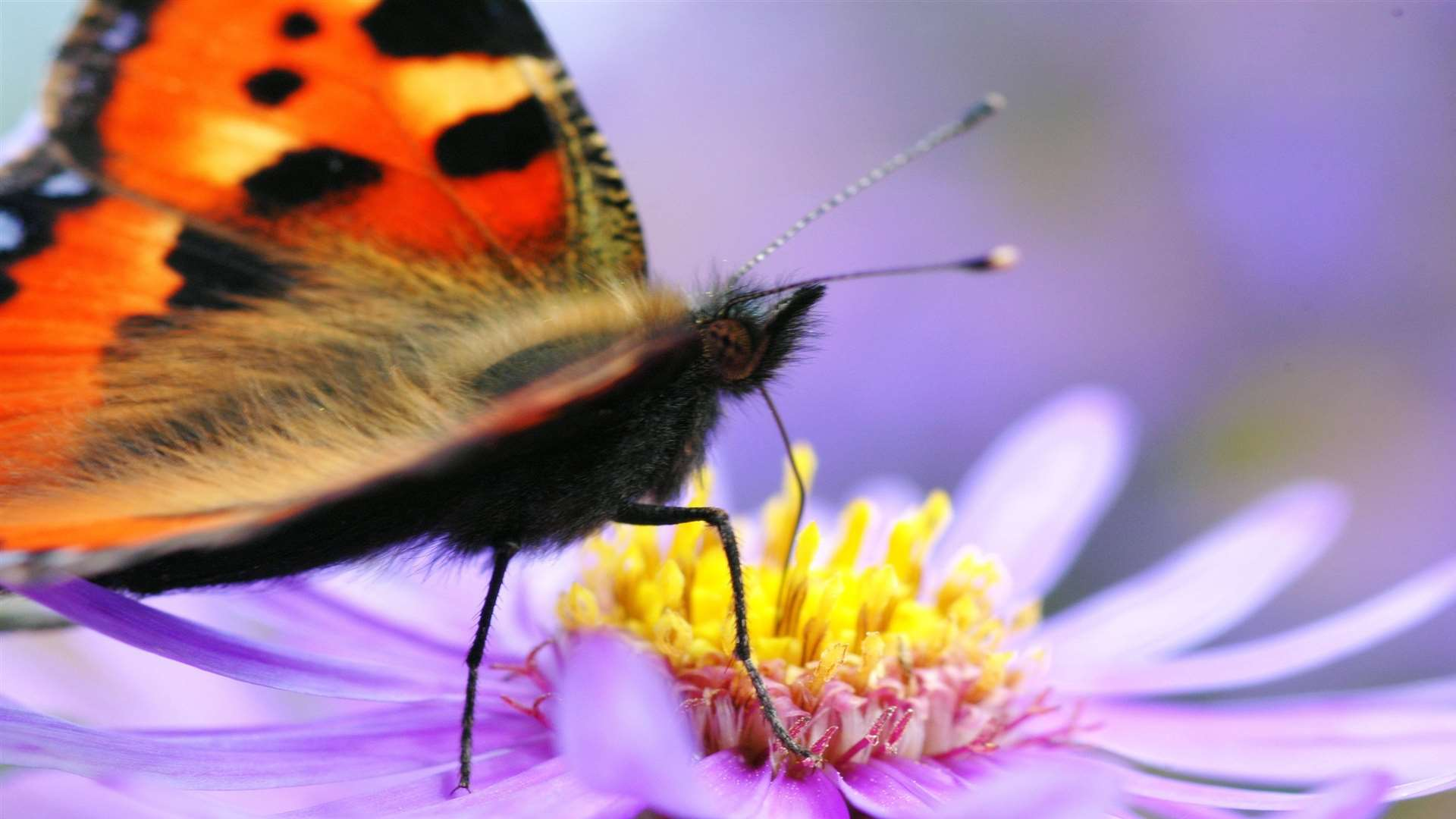 The small tortoiseshell is one of our most-familiar butterflies, appearing in gardens throughout the country