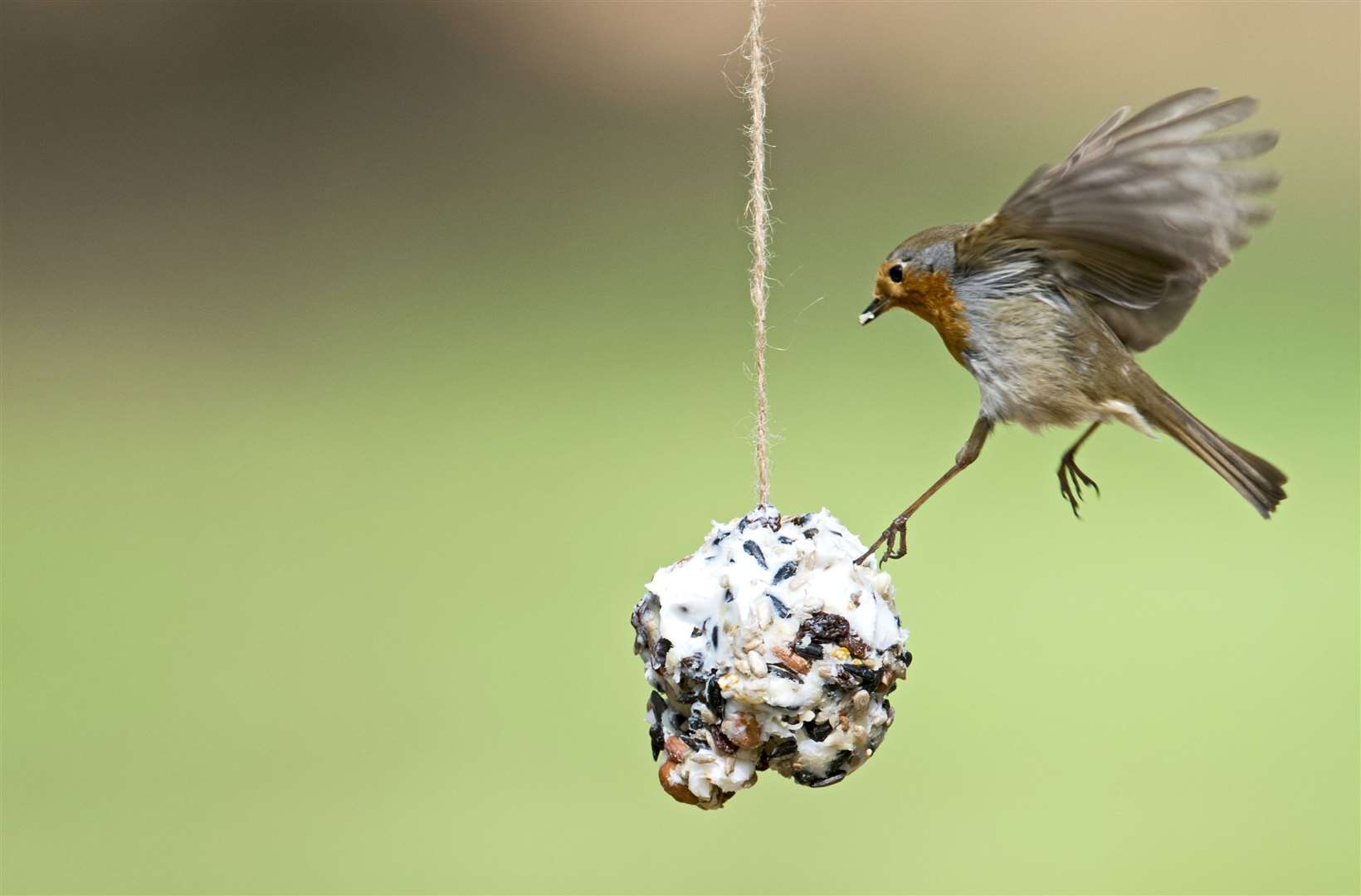 A Robin comes in for some dinner Picture: David Tiling/RSPB Images
