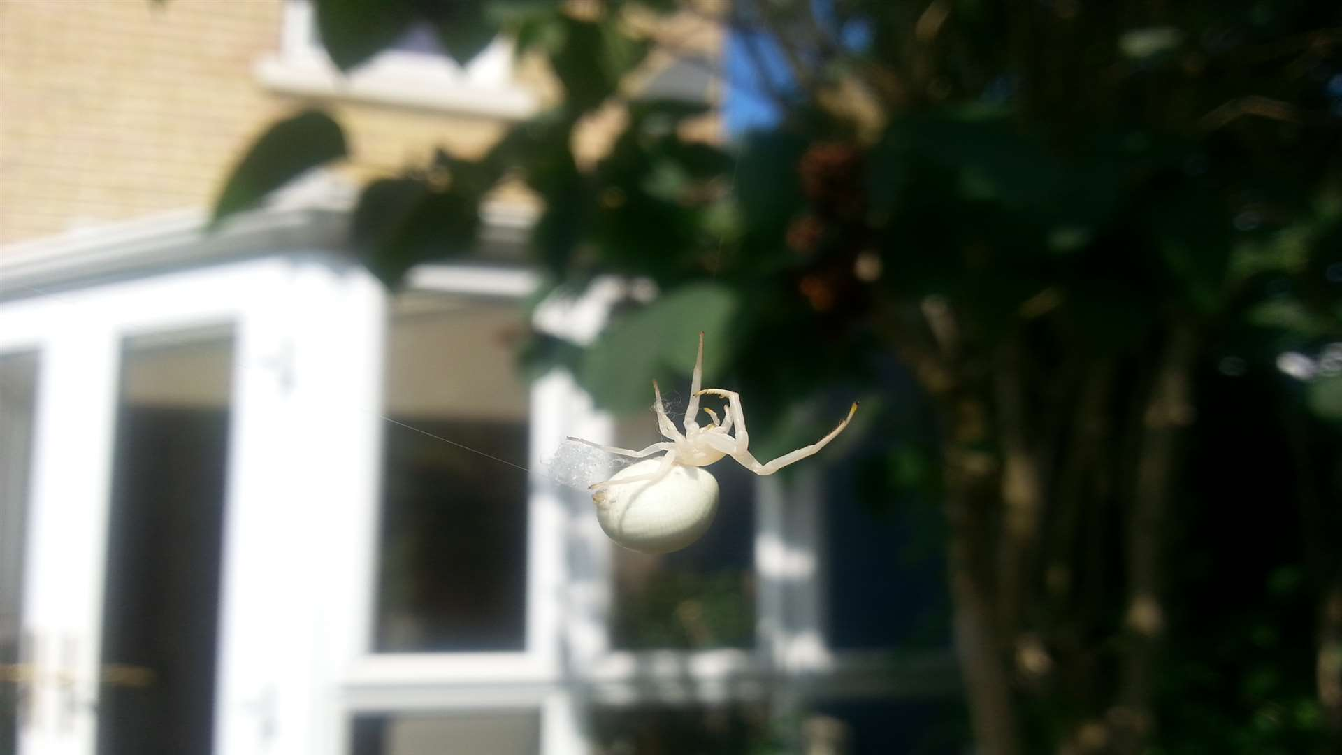 An albino spider spotted in Barming, Maidstone