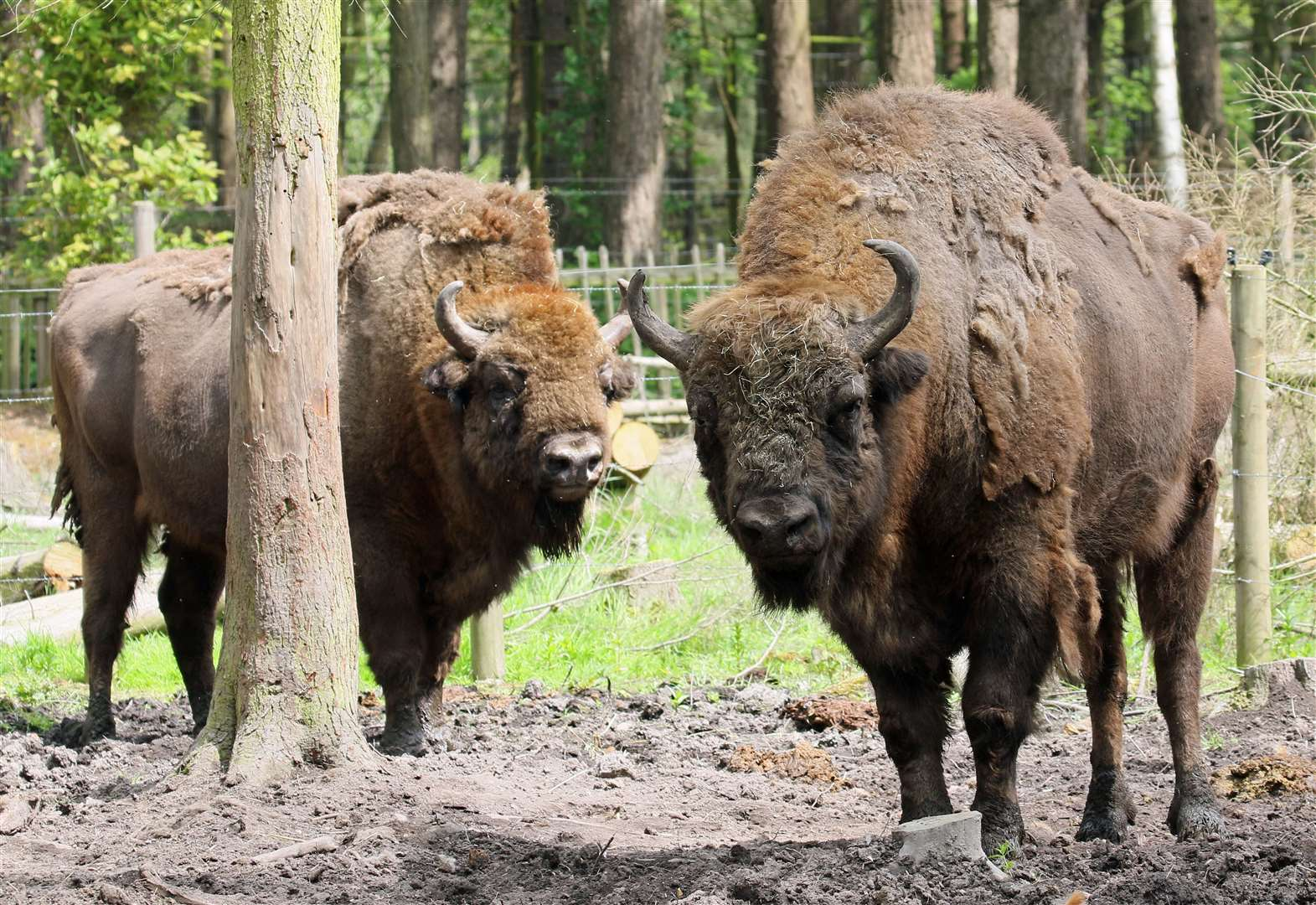 Bison to be introduced to Kent woodland
