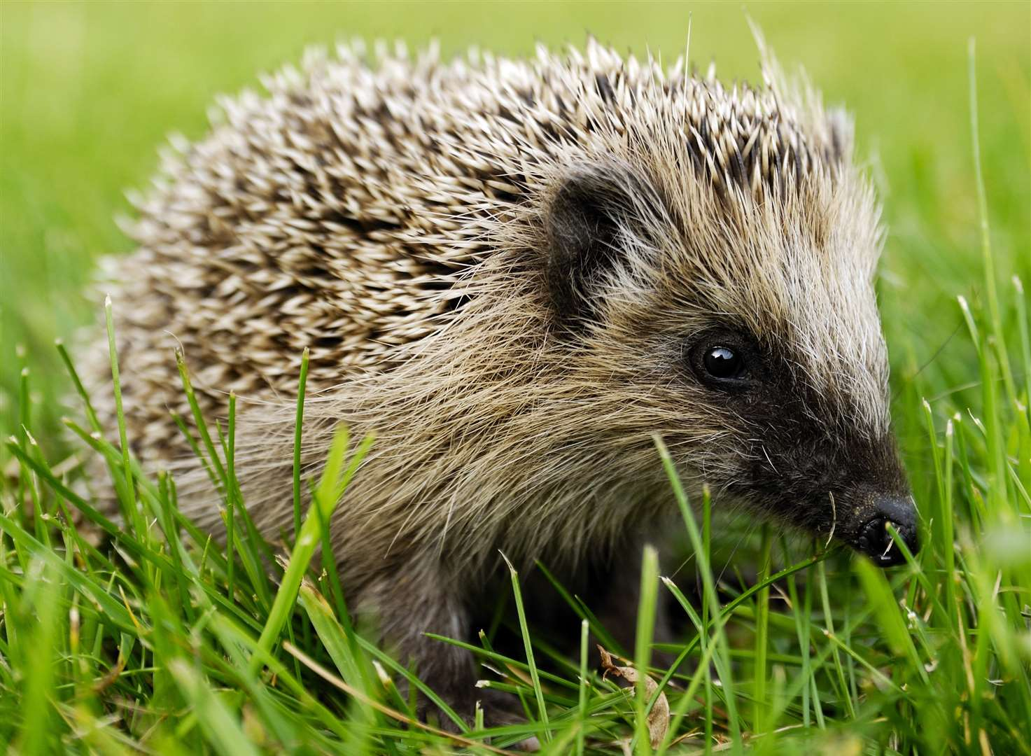 'Worrying' decline in number of hedgehogs