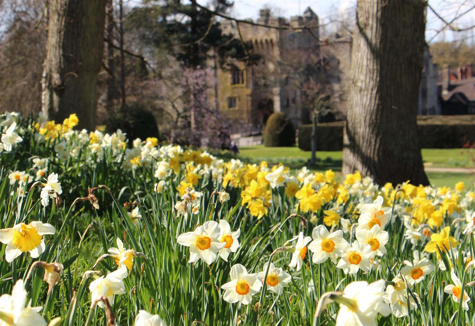 Dazzling Daffodils set to bloom
