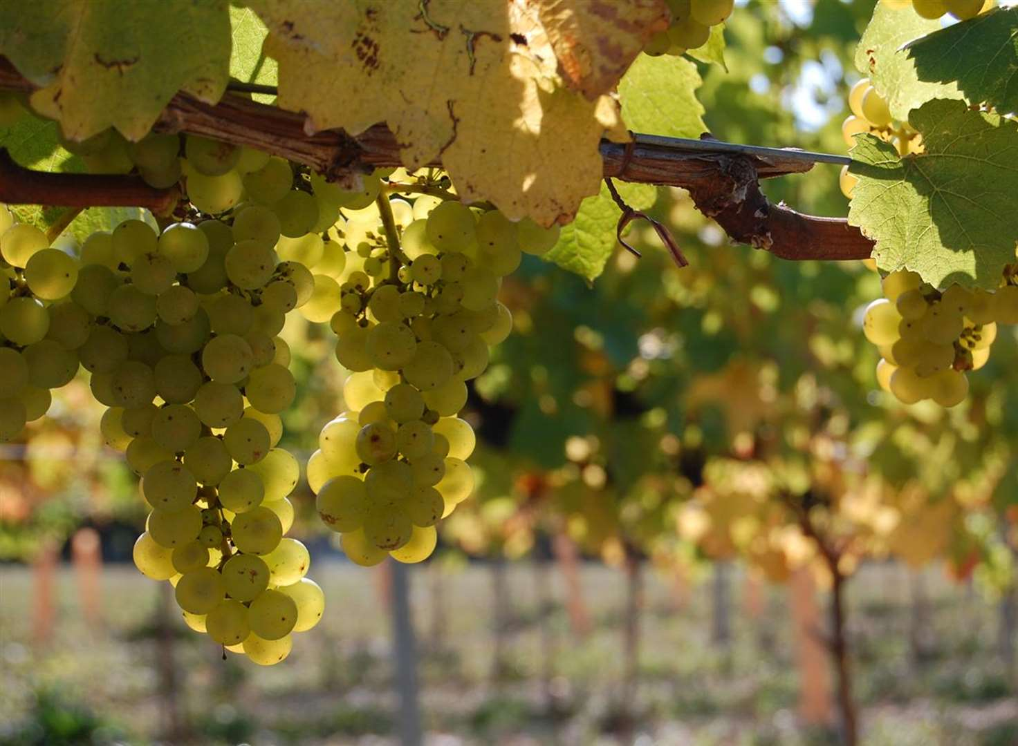 Cheers! Wine maker forecasts record harvest