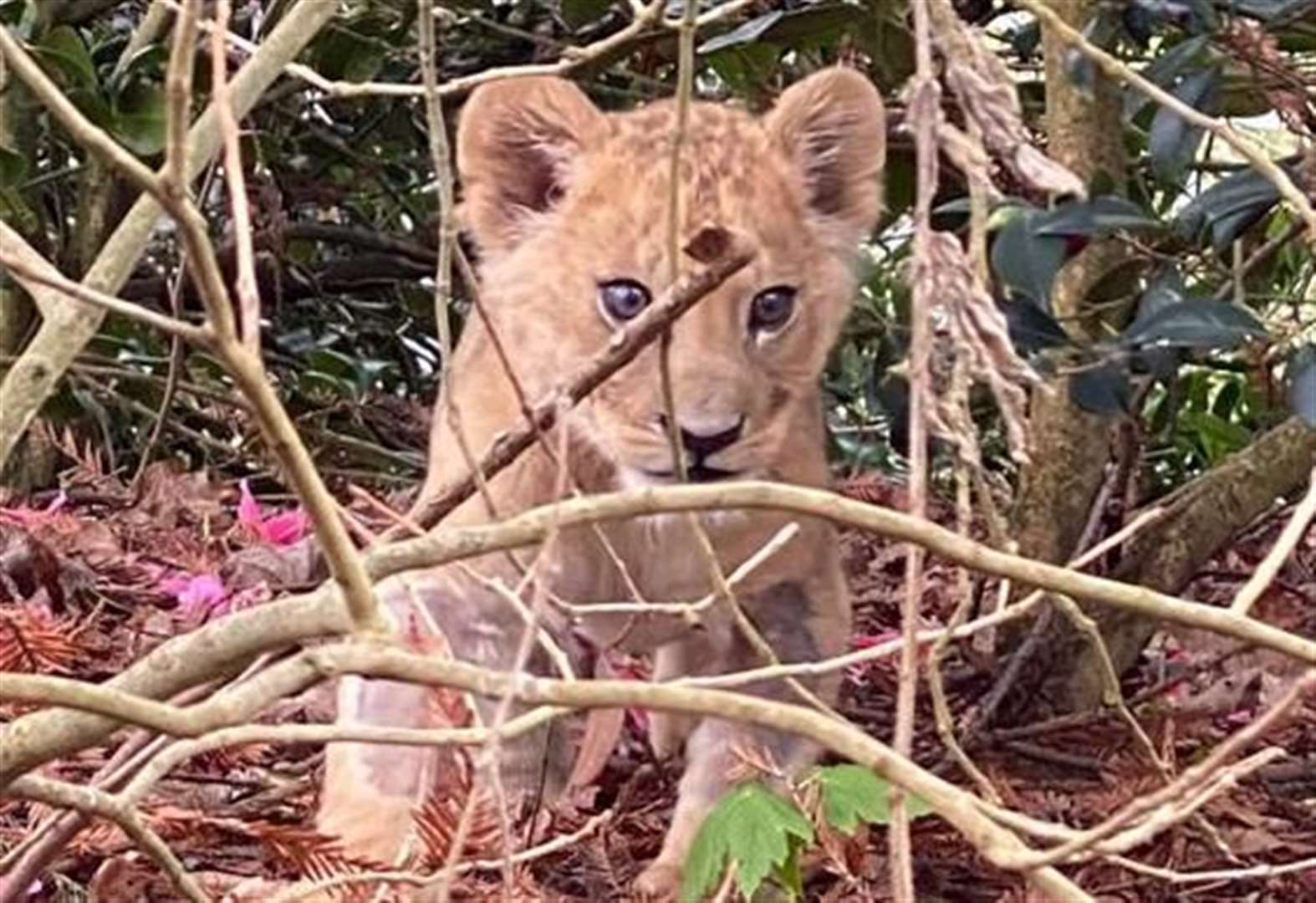 Lion cub under care of specialist team