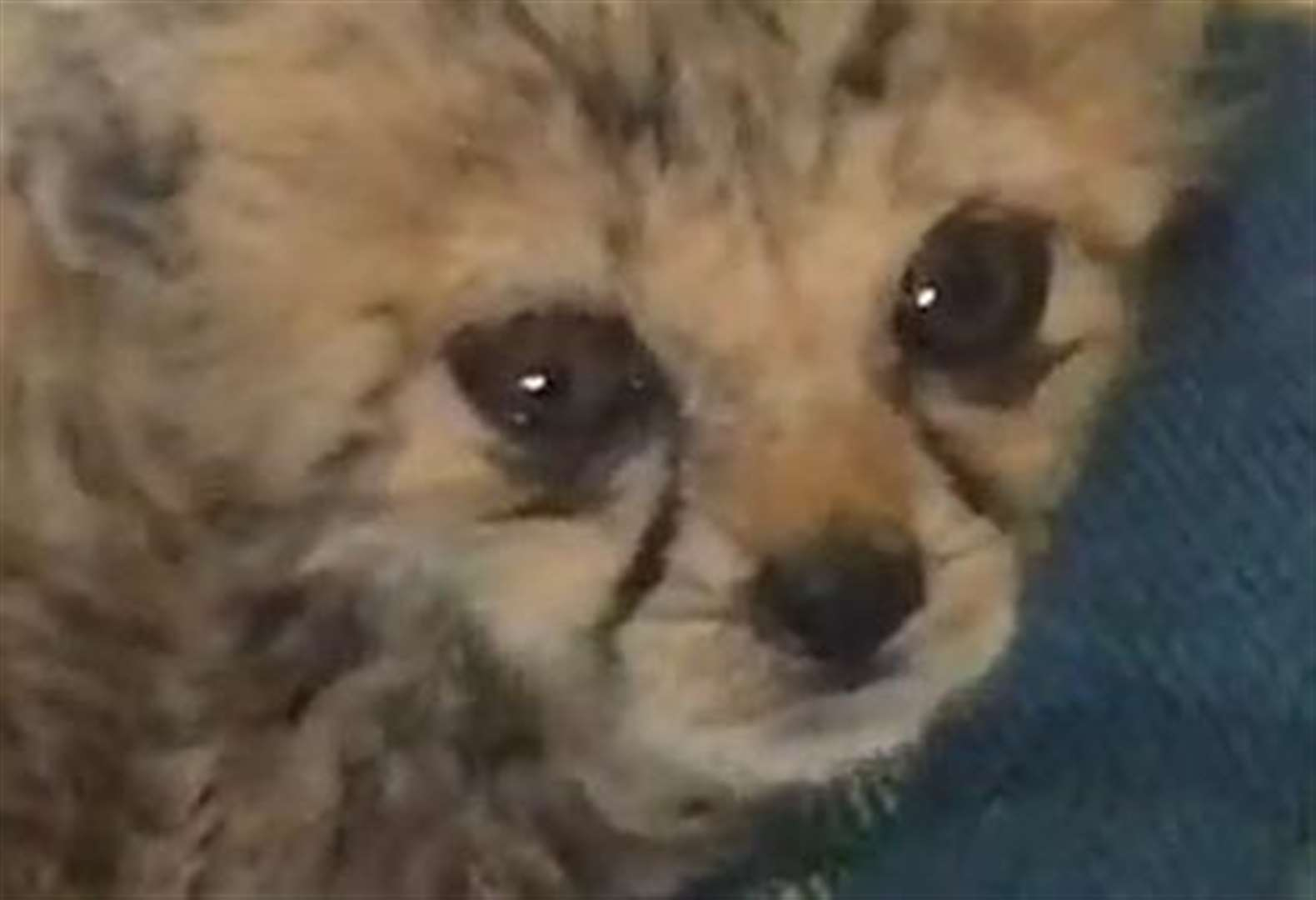 Traumatised baby cheetah on the road to recovery