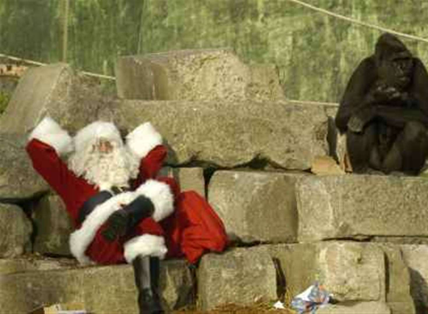 Special Christmas feast for gorillas