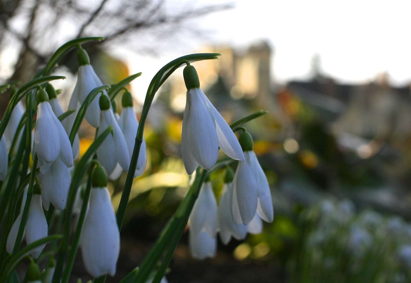 Snowdrops will be dropping in