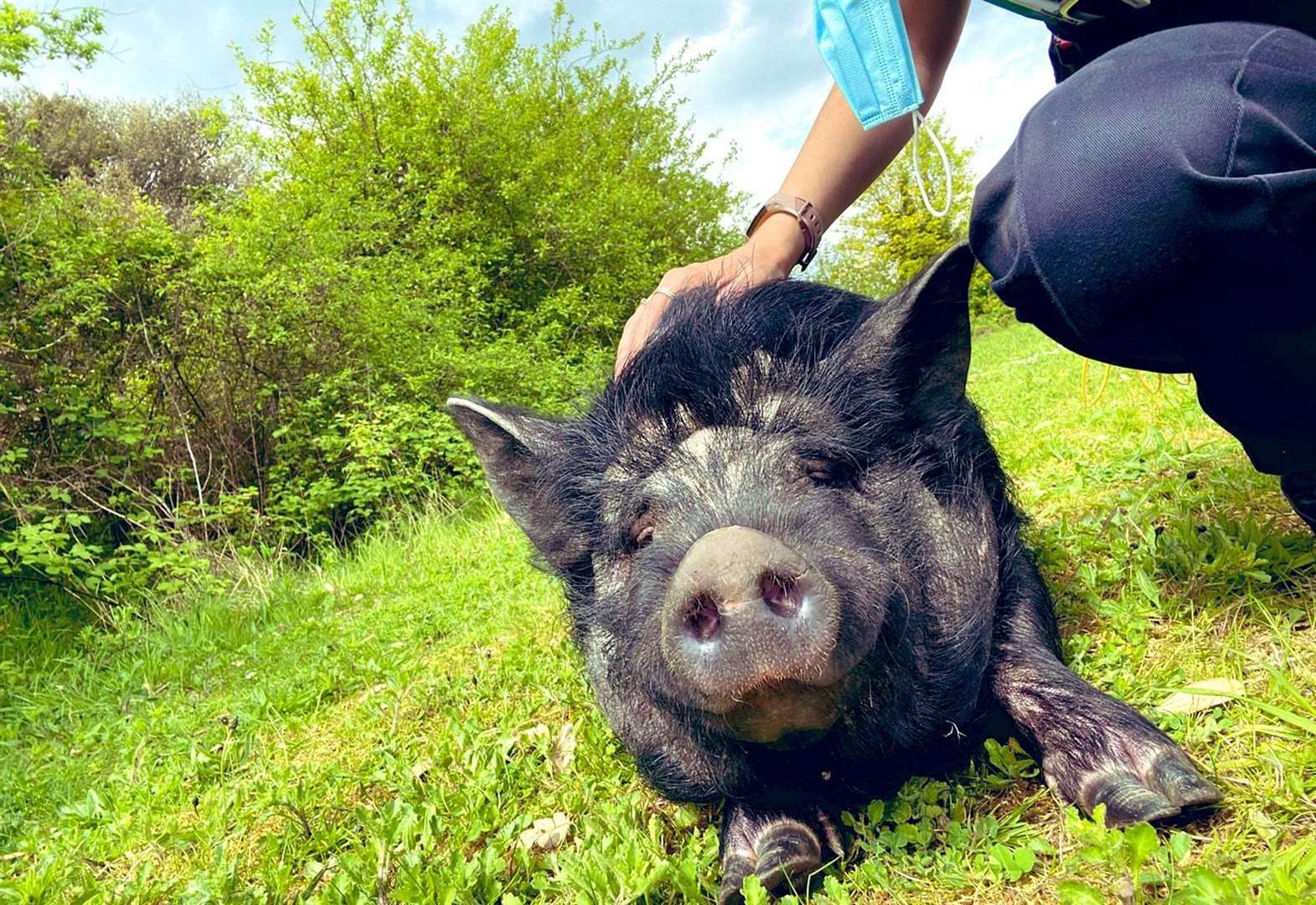 Police catch pig on the run