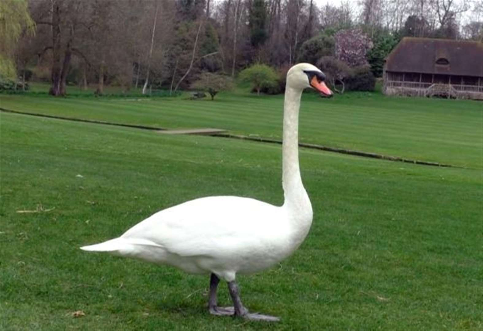 Mayor's 400th year of owning swans
