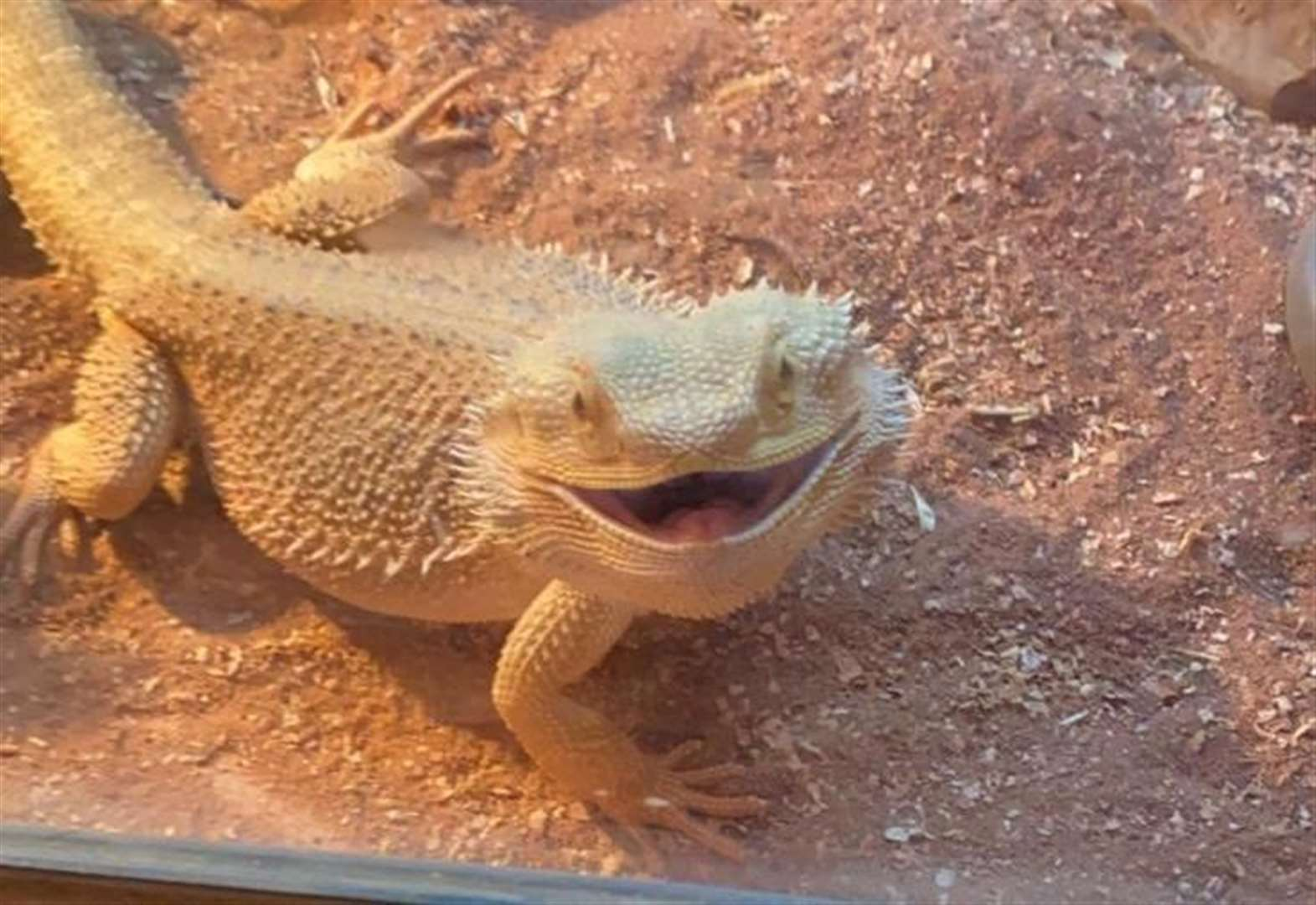 Boy's lizard on the loose after escape