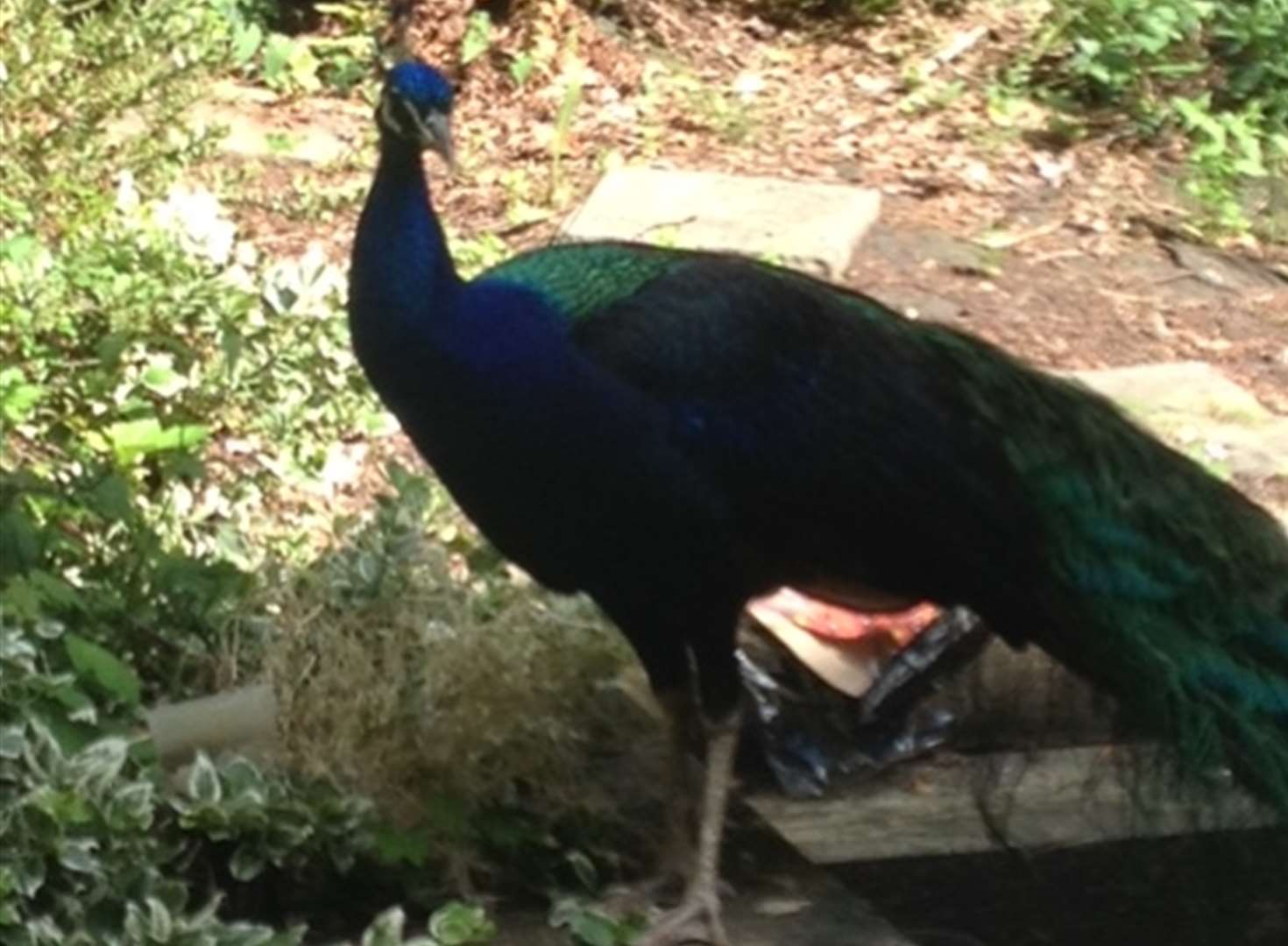 Anyone missing a peacock?