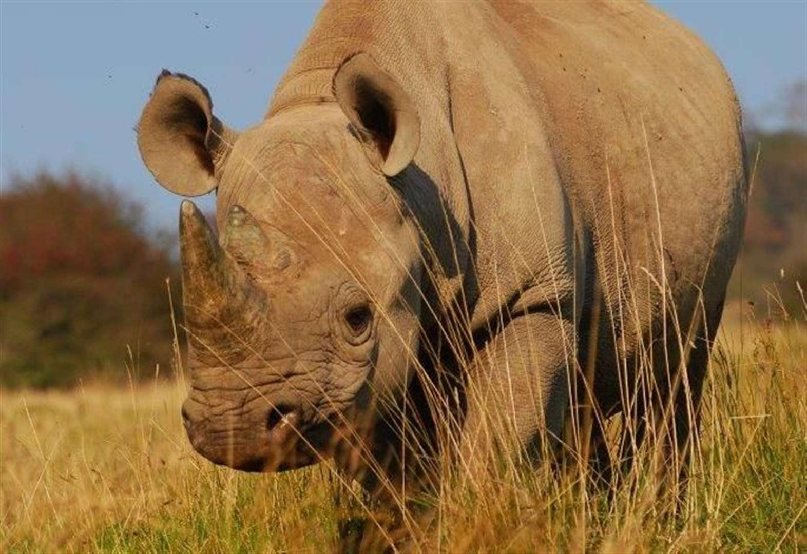 Rhino dies on plane from Kent to Africa