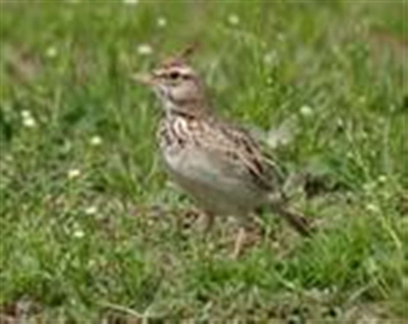 Rare crested lark spotted