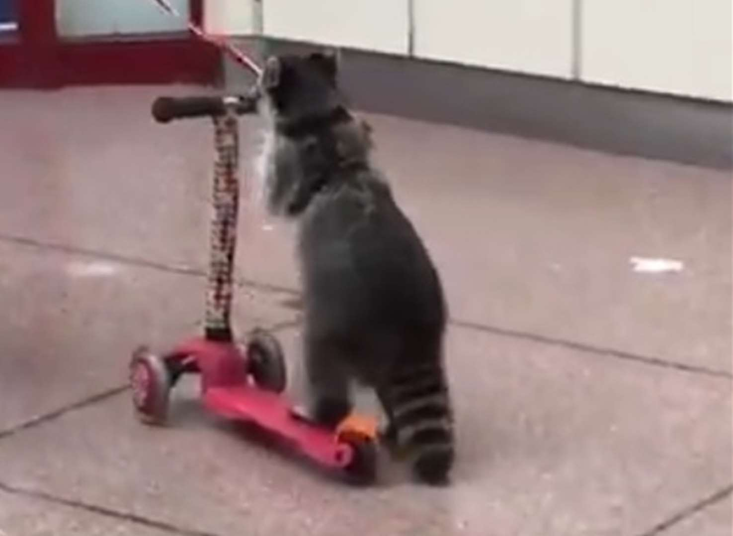 Raccoon travels in style on scooter