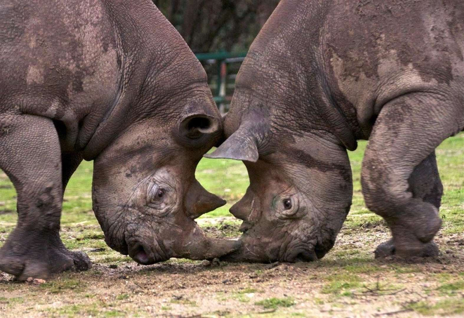 Kent's black rhino returning to the wild