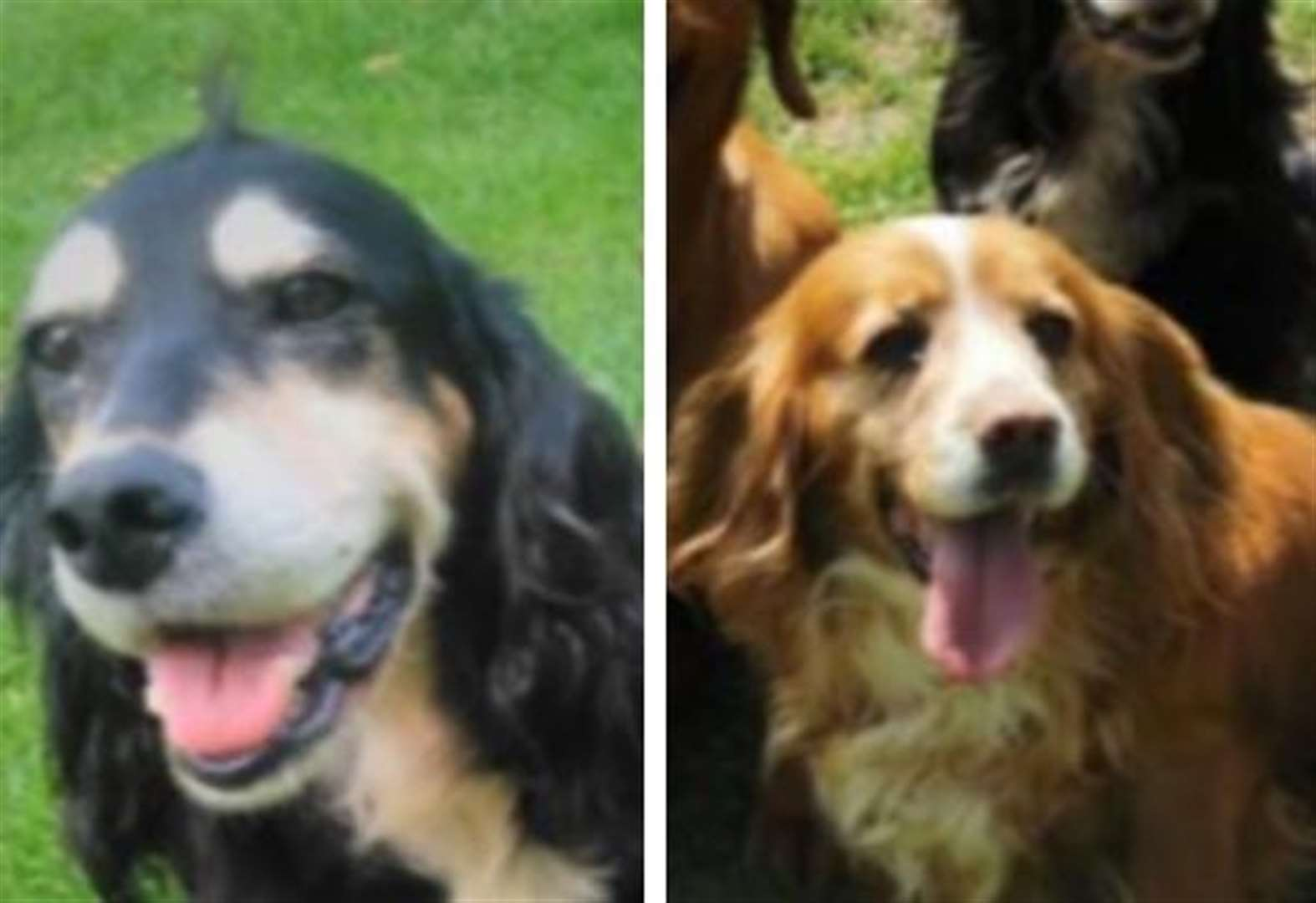 Beloved spaniels stolen in early morning break-in