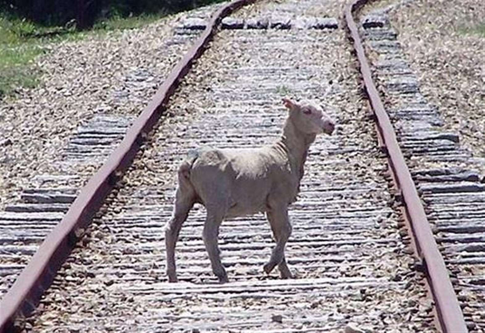 Sheep spark train delays