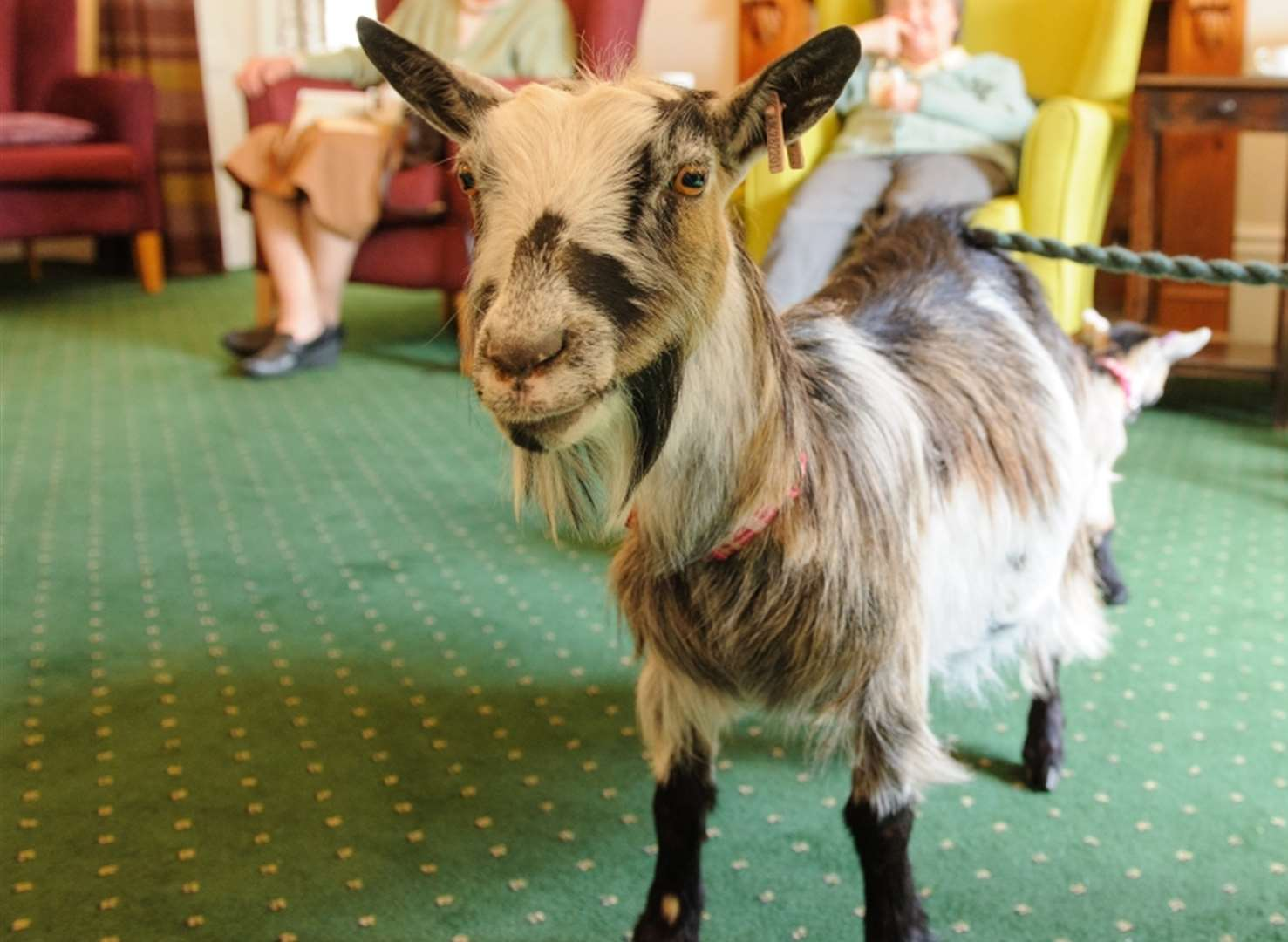 Goat duo visit Kent care home